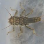 Perlidae - sp.