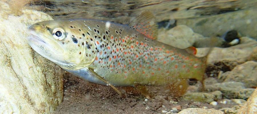 Salmo-fariodes-ecoflow--fish-greek-rivers