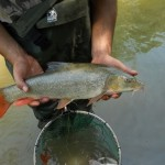 Inl-sampl-58--Barbus macedonicus