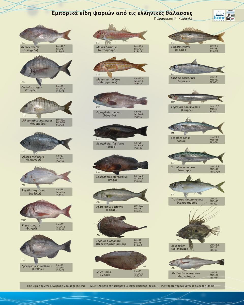 commercial-fish-greek-seas